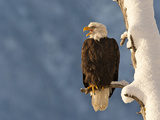 Bald Eagles, Chilkat Bald Eagle Preserve, Alaska, USA Photographic Print by Cathy & Gordon Illg