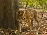 Bengal Tiger, Madhya Pradesh, Bandhavgarh National Park, India Photographic Print by Joe & Mary Ann McDonald