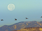 Sandhill Cranes, Bosque Del Apache National Wildlife Refuge, New Mexico, USA Photographic Print by Cathy &amp; Gordon Illg