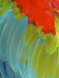 Scarlet Macaw (Ara Macao), Argentina Photographic Print by Andres Morya Hinojosa