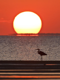 Great Heron, Laguna Madre, Texas, USA Photographic Print by Larry Ditto