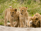 Lioness with Cubs, Serengeti National Park, Tanzania Photographic Print by Joe & Mary Ann McDonald