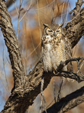 Great Horned Owl (Bubo Virginianus) Sleeping on Perch in Willow Tree, New Mexico, USA Photographic Print by Larry Ditto