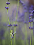 Grasshopper with Lavender, Washington, USA Photographic Print by Brent Bergherm
