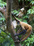 Geoffroy's Spider Monkey, Costa Rica Photographic Print by Andres Morya Hinojosa