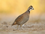 Northern Bobwhite Quail, Texas, USA Reproduction photographique par Larry Ditto