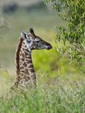 Baby Giraffe, Maasai Mara National Reserve, Kenya Photographic Print by Keren Su