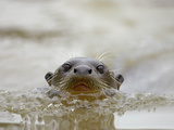 Giant River Otter, Pantanal, Brazil Photographic Print by Joe & Mary Ann McDonald