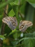 Owl Butterfly (Caligo Memnon), Costa Rica Photographic Print by Andres Morya Hinojosa