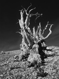 Ancient Bristlecone Pine Tree on Rocky Slope of White Mountains, Inyo Nat'l Forest, California, USA Photographic Print by Jerry Ginsberg