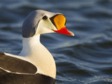 Male King Eider, Arctic National Wildlife Refuge, Alaska, USA Photographic Print by Hugh Rose