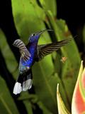The Violet Sabrewing (Campylopterus Hemileucurus), Costa Rica Photographic Print by Andres Morya Hinojosa