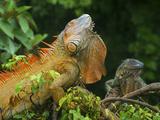Green Iguanas (Iguana Iguana), Costa Rica Photographic Print by Andres Morya Hinojosa