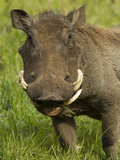 Warthog, Ngorongoro Crater, Serengeti National Park, Tanzania Photographic Print by Joe & Mary Ann McDonald
