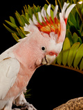 Major Mitchell's Cockatoo, Lophochroa Leadbeateri, Native to Australia Photographic Print by David Northcott