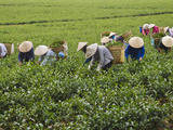 Farmers Wearing Conical Hat Picking Tea Leaves at Tea Plantation, Vietnam Fotografie-Druck von Keren Su