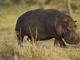 Hippopotamus, Ngorongoro Crater, Serengeti National Park, Tanzania Photographic Print by Joe & Mary Ann McDonald