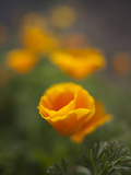 Orange California Poppy with Isolated Selective Focus, Washington, USA Photographic Print by Brent Bergherm
