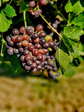 Goose Ridge Vineyards and Estate Winery, Richland, Washington, USA Photographic Print by Richard Duval