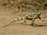Flap-Necked Chameleon, Serengeti National Park, Tanzania Photographic Print by Joe & Mary Ann McDonald