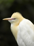 Cattle Egret (Ardea Ibis), North Queensland, Australia Photographic Print by David Wall
