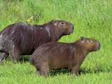 Capybara (Hydrochoerus Hydrochaeris), Corrientes, Argentina Photographic Print by Andres Morya Hinojosa
