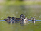 A Female Wood Duck (Aix Sponsa) Is Surrounded by Her Young Ducklings, Washington, USA Photographic Print by Gary Luhm