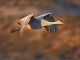 Sandhill Crane in Flight , New Mexico, USA Photographic Print by Larry Ditto