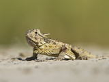 Texas Horned Lizard, Texas, USA Photographic Print by Larry Ditto