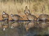 Northern Bobwhite, Texas, USA Photographic Print by Larry Ditto