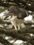 Martial Eagle, Gol Kopjes, Serengeti National Park, Tanzania Photographic Print by Joe & Mary Ann McDonald