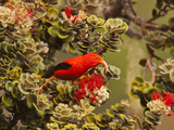 I'Iwi Bird, Haleakala National Park, Maui, Hawaii, USA Photographic Print by Cathy & Gordon Illg