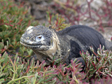 Land Iguana, Galapagos Islands, Ecuador Photographic Print by Kymri Wilt