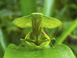 Hooded Mantis (Choerododis Rhombifolia), Costa Rica Photographic Print by Andres Morya Hinojosa