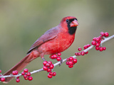 Northen Cardinal Perched on Branch, Texas, USA Photographic Print by Larry Ditto