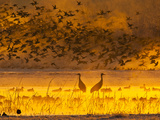 Sandhill Cranes, Bosque Del Apache National Wildlife Refuge, New Mexico, USA Photographic Print by Cathy & Gordon Illg