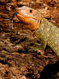 Caiman Lizard, Dracaena Guianensis, Native to Northeastern South America Photographic Print by David Northcott