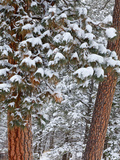 Snow Fills the Boughs of Ponderosa Pine Trees at Flathead Lake State Park, Montana, USA Stampa fotografica di Chuck Haney