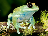 Maroon Big Eye Treefrog Leptopelis Uluguliensis. Native to Eastern Africa Photographic Print by David Northcott