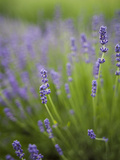 Lavender Plants, Washington, USA Photographic Print by Brent Bergherm