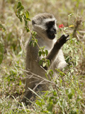 Vervet Monkey, Ngorongoro Crater, Tanzania Photographic Print by Joe & Mary Ann McDonald