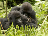 Mountain Gorilla, Volcanoes National Park, Rwanda Photographic Print by Joe & Mary Ann McDonald