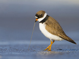 Semipalmated Plover (Charadrius Semipalmatus) Pulls a Worm from Beach, Washington, USA Photographic Print by Gary Luhm