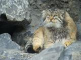 Pallas's Cat, Manul (Otocolobus Manul or Felis Manul) Photographic Print by Andres Morya Hinojosa