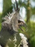 The Harpy Eagle (Harpia Harpyja), Misiones, Argentina Photographic Print by Andres Morya Hinojosa