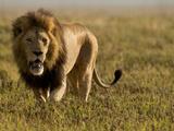 Lion, Ngorongoro Crater, Serengeti National Park, Tanzania Photographic Print by Joe & Mary Ann McDonald