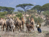 Camels on the Plain, Samburu National Reserve, Kenya Photographic Print by Keren Su
