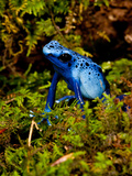 Azure Dart Frog Dendrobates Azureus Native to Northern South America Photographic Print by David Northcott