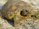 Gopher Tortoise, Gopherus Polyphemus, Wiregrass Community, Central Florida, USA Photographic Print by Maresa Pryor