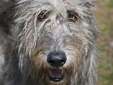 Portrait of an Irish Wolfhound Photographic Print by Zandria Muench Beraldo